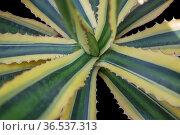 Agave plant closeup in black back. Стоковое фото, фотограф Zoonar.com/Achim Prill / easy Fotostock / Фотобанк Лори