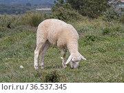Kleines Lamm auf grüner Wiese stehend. Стоковое фото, фотограф Zoonar.com/Eder Christa / easy Fotostock / Фотобанк Лори