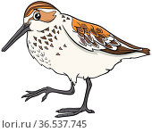 Cartoon illustration of funny western sandpiper bird comic animal... Стоковое фото, фотограф Zoonar.com/Igor Zakowski / easy Fotostock / Фотобанк Лори