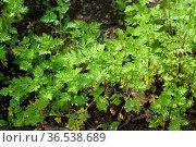 Mutterkraut, Tanacetum parthenium, Keimling, Sproessling. Стоковое фото, фотограф Zoonar.com/Manfred Ruckszio / easy Fotostock / Фотобанк Лори
