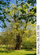 Aeltester Lindenbaum der frueheren Baille-Maille Lindenallee von 1664. Стоковое фото, фотограф Zoonar.com/Wieland Hollweg / age Fotostock / Фотобанк Лори