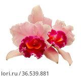 Rot-weisse Orchidee auf weissem Hintergrund. Стоковое фото, фотограф Zoonar.com/Wieland Hollweg / age Fotostock / Фотобанк Лори