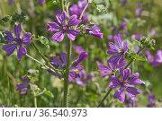 Common mallow (Malva sylvestris) pinkish-purple flowers with dark veins on flowering plant, Berkshire, England, June. Стоковое фото, фотограф Nigel Cattlin / Nature Picture Library / Фотобанк Лори