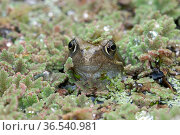 Frog (Rana temporaria) with its head above the pond water surface covered in a floating fairy fern (Azolla filiculoides), Devon, England, UK. September. Стоковое фото, фотограф Nigel Cattlin / Nature Picture Library / Фотобанк Лори