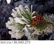 Raureif, Kiefer, Pinus, sylvestris, Pine, Kiefernast. Стоковое фото, фотограф Zoonar.com/Manfred Ruckszio / easy Fotostock / Фотобанк Лори