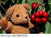 Teddybär mit Kirschen. Стоковое фото, фотограф Zoonar.com/Martina Berg / easy Fotostock / Фотобанк Лори