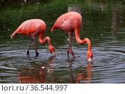 Flamingos. Стоковое фото, фотограф Zoonar.com/Martina Berg / easy Fotostock / Фотобанк Лори