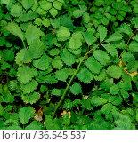 Kleine Bibernelle, Pimpinella saxifraga, ist Heil- und Wildpflanze... Стоковое фото, фотограф Zoonar.com/Manfred Ruckszio / easy Fotostock / Фотобанк Лори