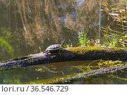 Черепаха греется на солнце на стволе дерева, лежащем на поверхности пруда. Стоковое фото, фотограф Сергей Рыбин / Фотобанк Лори