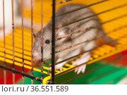 Domestic brown rat. Стоковое фото, фотограф Argument / Фотобанк Лори