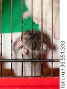 Small domestic rats. Стоковое фото, фотограф Argument / Фотобанк Лори