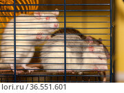 Three domestic rats. Стоковое фото, фотограф Argument / Фотобанк Лори