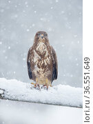 Common buzzard (Buteo buteo) perching on gate in falling snow, Scotland, UK, January. Стоковое фото, фотограф SCOTLAND: The Big Picture / Nature Picture Library / Фотобанк Лори
