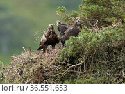 Golden eagle (Aquila chyrsaetos) female with twig in bill, with two eaglets, at nest site in pine tree, Glen Tanar Estate, Cairngorms National Park, Scotland, UK, June. Стоковое фото, фотограф SCOTLAND: The Big Picture / Nature Picture Library / Фотобанк Лори