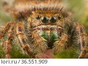 Jumping spider (Phidippus audax) Philadelphia,  USA. Стоковое фото, фотограф Doug Wechsler / Nature Picture Library / Фотобанк Лори