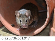 House mouse (Mus musculus) in a flowerpot. Dorset, UK March. Стоковое фото, фотограф Colin Varndell / Nature Picture Library / Фотобанк Лори
