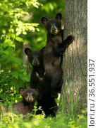 Black bears (Ursus americanus) three cubs, one climbing, Minnesota, USA, June. Стоковое фото, фотограф Danny Green / Nature Picture Library / Фотобанк Лори
