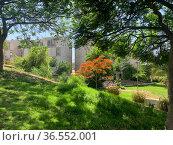 Blooming tree Delonix regia (Delonix regia) in a cityscape. Стоковое фото, фотограф Irina Opachevsky / Фотобанк Лори