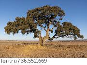 Holm oak (Quercus Ilex). Hoya de la Carrasca. Almansa. Albacete. Стоковое фото, фотограф Antonio Real / age Fotostock / Фотобанк Лори