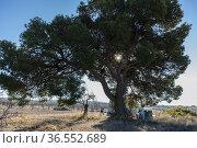 Centennial Aleppo pine. (Pinus alepensis). Almansa. Albacete. Стоковое фото, фотограф Antonio Real / age Fotostock / Фотобанк Лори