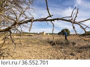 Centennial pine (Pynus halepensis). of Nicanor. Almansa. Albacete. Стоковое фото, фотограф Antonio Real / age Fotostock / Фотобанк Лори