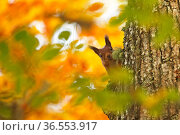Red squirrel (Sciurus vulgaris) climbing tree trunk with autumn leaves, Highlands, Scotland, October 2015. Стоковое фото, фотограф SCOTLAND: The Big Picture / Nature Picture Library / Фотобанк Лори