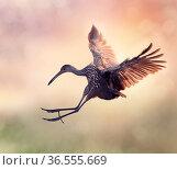 Limpkin Bird in Flight at Sunset. Стоковое фото, фотограф Zoonar.com/Svetlana Foote / easy Fotostock / Фотобанк Лори