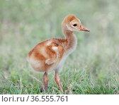 Small Sandhill Crane Chick on a grass. Стоковое фото, фотограф Zoonar.com/Svetlana Foote / easy Fotostock / Фотобанк Лори