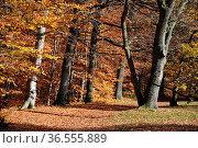 Waldweg, forstweg, weg, herbstwald, Herbst, baum, buche, buchen, buchenwald... Стоковое фото, фотограф Zoonar.com/Volker Rauch / easy Fotostock / Фотобанк Лори