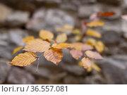 Kleiner herbstlich gefärbter Buchenbaum, der aus einer alten Burgmauer... Стоковое фото, фотограф Zoonar.com/Hans Eder / easy Fotostock / Фотобанк Лори