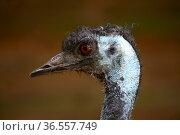 Australischer Laufvogel. Стоковое фото, фотограф Zoonar.com/Martina Berg / easy Fotostock / Фотобанк Лори