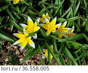 Tarda ist eine Botanische Tulpe. Стоковое фото, фотограф Zoonar.com/Manfred Ruckszio / easy Fotostock / Фотобанк Лори