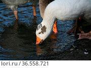Trinkende Gänse. Стоковое фото, фотограф Zoonar.com/Martina Berg / easy Fotostock / Фотобанк Лори