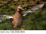 Badende Stockente. Стоковое фото, фотограф Zoonar.com/Martina Berg / easy Fotostock / Фотобанк Лори