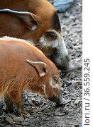 Potamochoerus porcus. Стоковое фото, фотограф Zoonar.com/Martina Berg / easy Fotostock / Фотобанк Лори