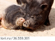Schweine-Paar. Стоковое фото, фотограф Zoonar.com/Martina Berg / easy Fotostock / Фотобанк Лори