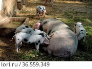 Bentheimer Landschweine (Sau mit Ferkeln) Стоковое фото, фотограф Zoonar.com/Martina Berg / easy Fotostock / Фотобанк Лори
