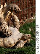 Spornschildkröten bei der Paarung. Стоковое фото, фотограф Zoonar.com/Martina Berg / easy Fotostock / Фотобанк Лори