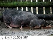 Hängebauchschweine am Futtertrog. Стоковое фото, фотограф Zoonar.com/Martina Berg / easy Fotostock / Фотобанк Лори