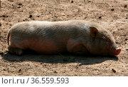 Eine etwas irreführende Bezeichnung: auch diese Schweine können über... Стоковое фото, фотограф Zoonar.com/Martina Berg / easy Fotostock / Фотобанк Лори