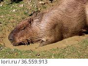 Wasserschwein im Schlammbad. Стоковое фото, фотограф Zoonar.com/Martina Berg / easy Fotostock / Фотобанк Лори