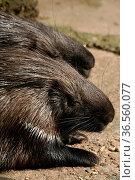 Zwei gewöhnliche Stachelschweine (Hystrix cristata) Стоковое фото, фотограф Zoonar.com/Martina Berg / easy Fotostock / Фотобанк Лори