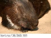 Gewöhnliches oder Eigentliches Stachelschwein (Hystricidae) Стоковое фото, фотограф Zoonar.com/Martina Berg / easy Fotostock / Фотобанк Лори
