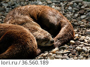 Kanadischer Otter. Стоковое фото, фотограф Zoonar.com/Martina Berg / easy Fotostock / Фотобанк Лори