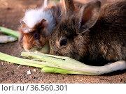 Meerschweinchen und Kaninchen friedlich vereint beim Fressen. Стоковое фото, фотограф Zoonar.com/Martina Berg / easy Fotostock / Фотобанк Лори