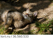 Europäische Wildkatze. Стоковое фото, фотограф Zoonar.com/Martina Berg / easy Fotostock / Фотобанк Лори