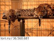 Jaguarfamilie in einem Zoo. Стоковое фото, фотограф Zoonar.com/Martina Berg / easy Fotostock / Фотобанк Лори