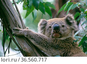 Koala (Phascolarctos cinereus) , Wollemi National Park, Greater Blue Mountains UNESCO Natural World Heritage Site, New South Wales. Стоковое фото, фотограф Jiri Lochman / Nature Picture Library / Фотобанк Лори