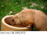 Präriehund am Wassernapf. Стоковое фото, фотограф Zoonar.com/Martina Berg / easy Fotostock / Фотобанк Лори