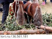 Shetland-Ponies als Rückepferde. Стоковое фото, фотограф Zoonar.com/Martina Berg / easy Fotostock / Фотобанк Лори